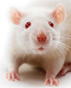 Much of the Medical Research on Diseases That Affect Women Is Conducted Using Male Rodents